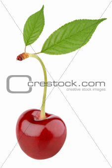 Sweet cherry berry with leaves on white