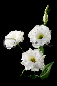 Bouquet of white flowers on a black background.