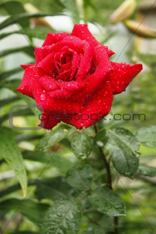 Flowering red rose after the rain