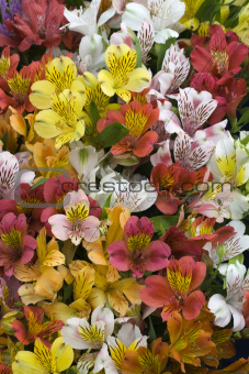 Mixed Alstroemeria - Hampton Court Flower Show 2010
