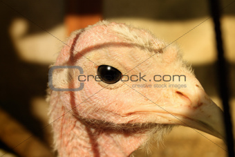 Close up on head of a white turkey
