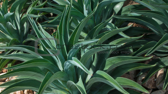 Abstract line of Green Agave