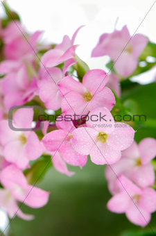 Beautiful pink flowers and green leaves