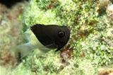 Bicolor puller (Chromis dimidiata)