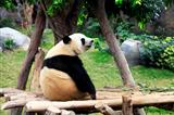 Grand panda bear