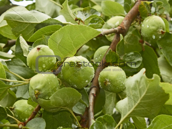 Small green apples fruit on the branch