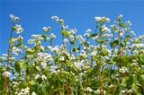 Flowering buckwheat plants