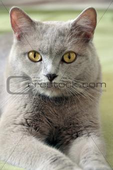 British feline