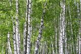 Birch forest