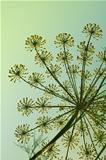 Fennel in garden.