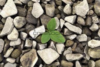 alfalfa to clover stones