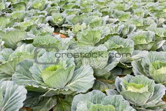 Cabbage fields in Thailand