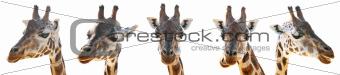 A Giraffe head