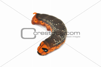 Caterpillar on white with spots and orange face