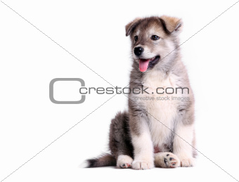 Alaskan malamute puppy over white
