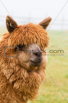 An Alpaca in profile