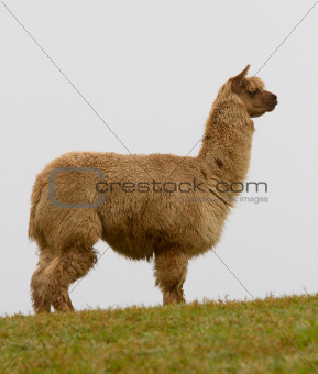 An Alpaca in profile