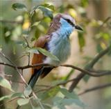 Racket Tailed Roller Bird
