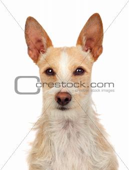 Beautiful portuguese hound