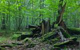 Monumental broken oak lying