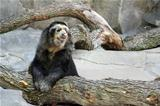 Black and White Andean Bear