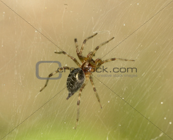 Brown spider on a web
