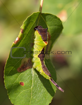 Green large caterpillar on a leaf