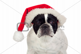 Beautiful french bulldog with christmas hat