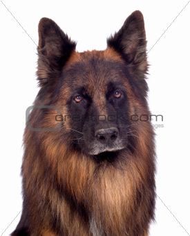 Beautiful alsatian