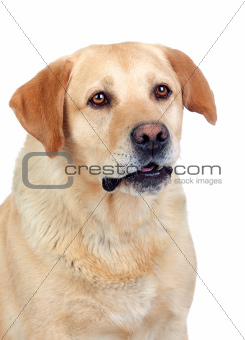Beautiful Labrador retriever adult