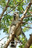 Madagascar&#39;s Ring-tailed lemur sitting on the tree.