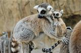 Madagascar&#39;s ring-tailed lemur  with the small cub on a back.