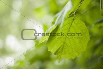 Close up of a Hazel, corylus leaves