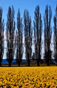 Yellow Daffodils Flowers Cypress Trees Skagit Valley Washington