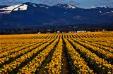 Spring Yellow Daffodil Row Flowers Skagit Valley Washington Stat
