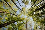 View lloking up through canopy of beech trees on bright day