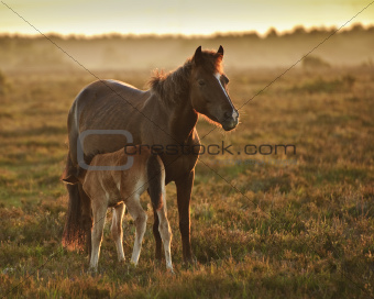 New Forest pony mare and foal bathed in sunrise light in landsca