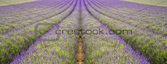 Beautiful low angle wide shot of colorful lavender field in Summer