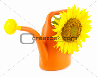 Big Yellow Sunflower in Orange Watering Can / Isolated