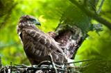 Buzzard