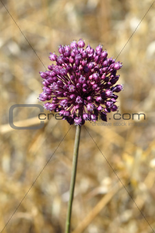 purple allium plant