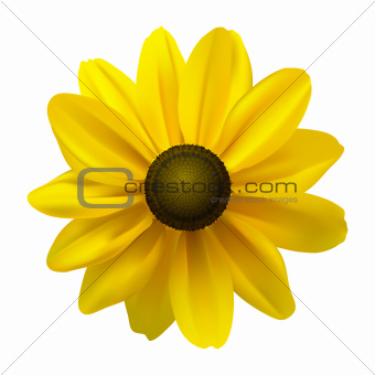 Black Eyed Susan (Rudbeckia Hirta) flower
