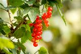red currants with shallow focus