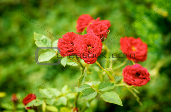 small red roses