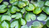 Leaves of aquatic plants