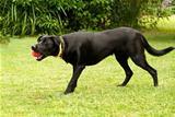 Black Male Australian Kelpie Dog