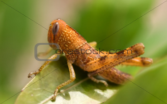 Brown Grasshopper Insect Garden Pest
