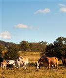 Australian Beef Cattle