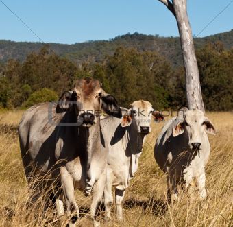 Australian meat industry brahman cattle
