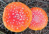 The fly agaric or fly amanita